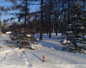Вандалы срубили верхушку ели в Академгородке