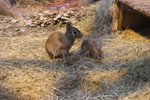 В зоопарке Новосибирска в канун Нового года родилось пять малышей
