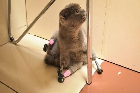 Новосибирский доктор поставил кошке протезы на все 4 лапы