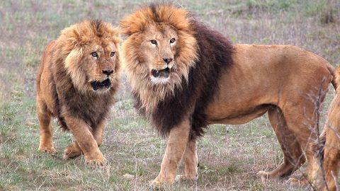 В зоопарке Новосибирска сегодня пройдет торжественное кормление львов