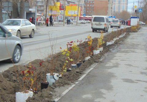 Акция «Посади своё дерево» в Новосибирске временно остановлена