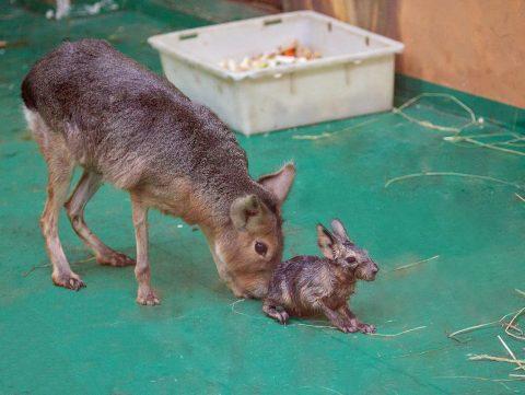 В Новосибирском зоопарке родились свинки, похожие на зайцев