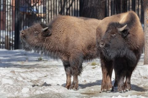 В Новосибирском зоопарке поселились бизоны