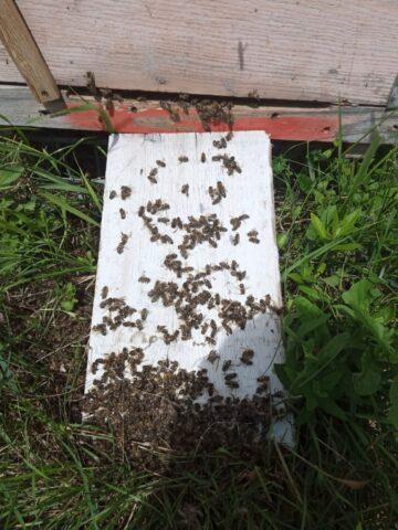 Пчелы массово гибнут под Новосибирском