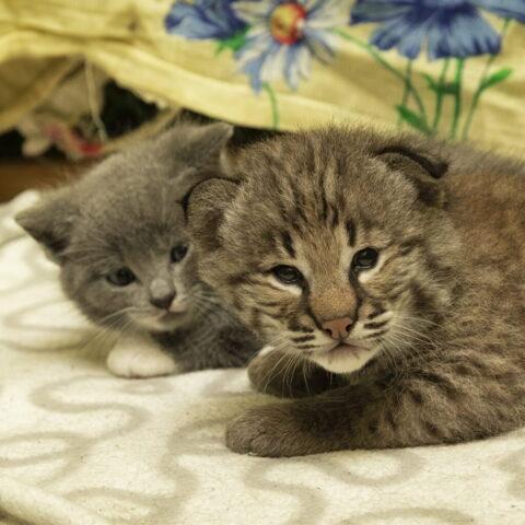 В Новосибирском зоопарке домашняя кошка выкормила рысенка