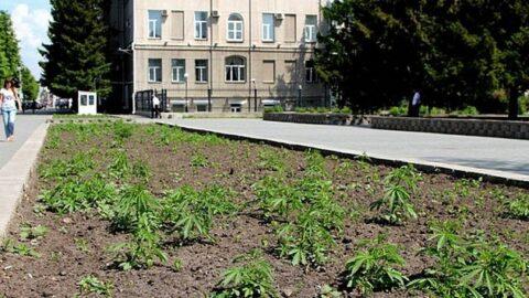 В Новосибирске на Красном проспекте выросла конопля