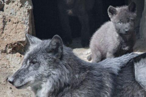 Арктическая волчица из Новосибирского зоопарка бросила волчат