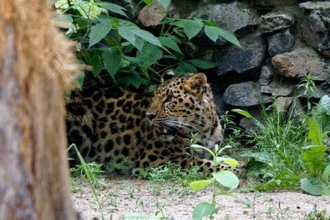 В Новосибирском зоопарке появился дальневосточный леопард