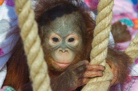 Орангутанг Джулия вернется в семью в Новосибирске