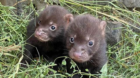 В Новосибирском зоопарке родились детеныши кустарниковых собак