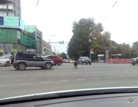 В Новосибирске баран сбежал с Курбан-байрама