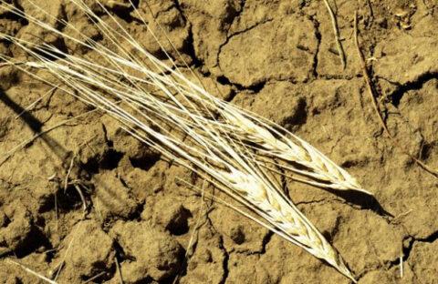Сельское хозяйство Новосибирской области страдает из-за засухи