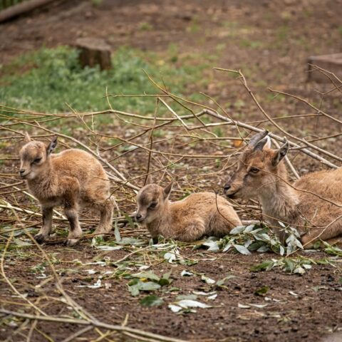 У парнокопытных в Новосибирском зоопарке родились малыши