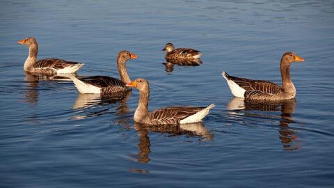 В водоемах Новосибирска увеличилось количество гусей и уток