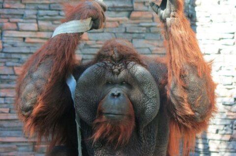 Орангутангу Бату в Новосибирском зоопарке исполнился 21 год
