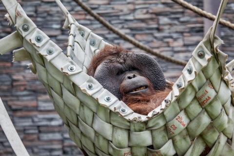 У питомцев Новосибирского зоопарка появились гамаки