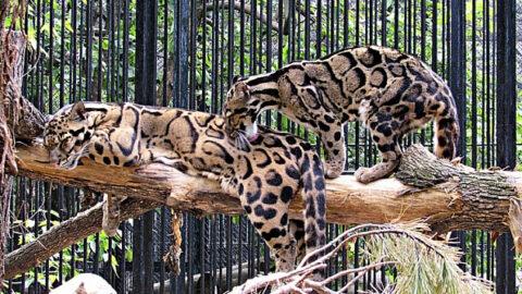 В Новосибирском зоопарке отметили день дымчатого леопарда