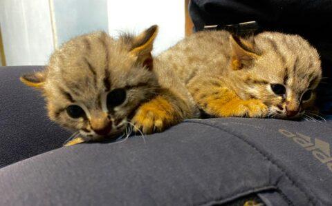 В новосибирском зоопарке родились редкие ржаво-рыжие котята