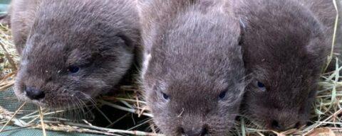 Выдра Идан из Новосибирского зоопарка родила малышей