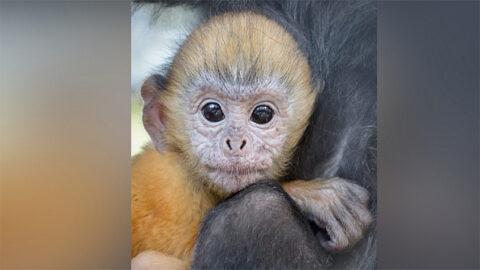 Ламы и обезьяны родили малышей в Новосибирском зоопарке