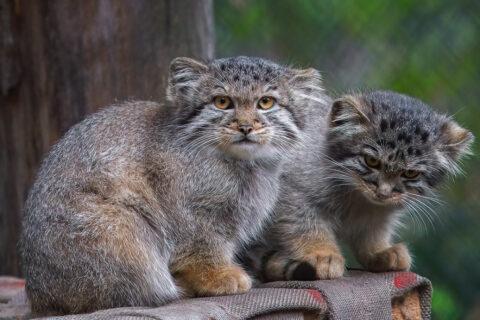 Малыши-манулы подросли в Новосибирском зоопарке