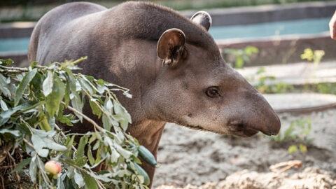 Тапиру из новосибирского зоопарка исполнилось 15 лет