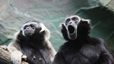 День гиббонов отметили в новосибирском зоопарке