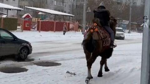 В Новосибирске заметили верблюда на заснеженной улице