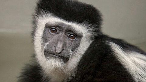В Новосибирском зоопарке обезьяна отметила 30-летний юбилей