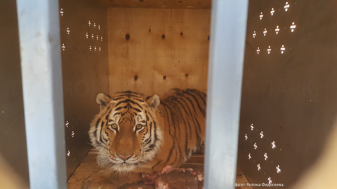В Эмиратах новосибирская тигрица дождалась встречи со своим женихом