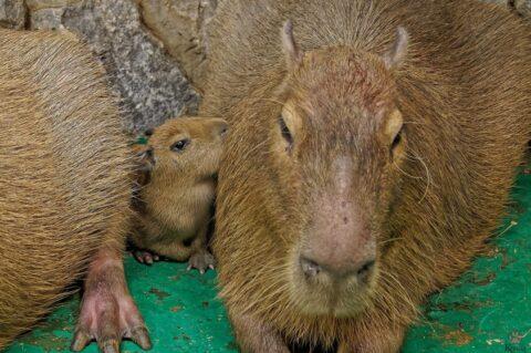 Детеныши капибары родились в Новосибирском зоопарке