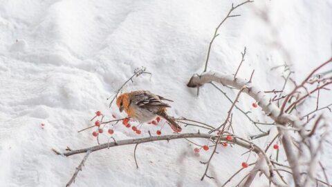 Финские попугаи прилетели в Новосибирск на зимовку