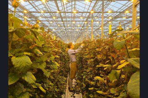 В цветочных магазинах будут продавать новосибирские розы