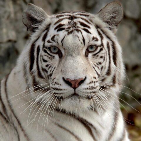 17-летие бенгальского тигра по кличке Зао отметили в зоопарке Новосибирска