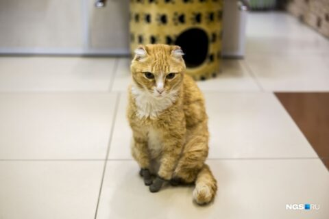 Умер новосибирский кот Рыжий с титановыми лапками