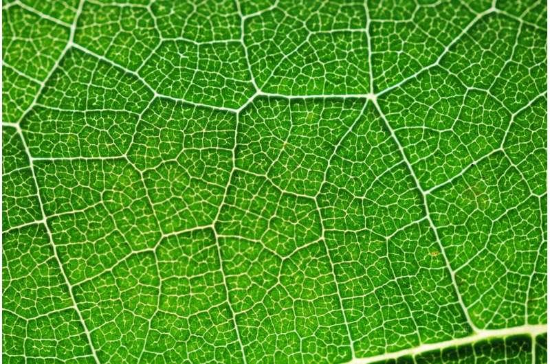 Новое понимание фотосинтеза может помочь вырастить более устойчивые растения