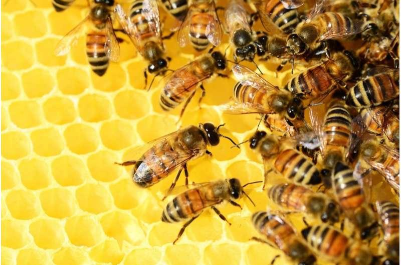 Южноафриканские рабочие медоносные пчелы размножаются, создавая почти идеальных клонов самих себя