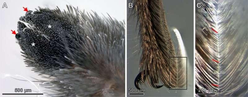 Неожиданное открытие паучьих волос может вдохновить на создание более сильных клеев
