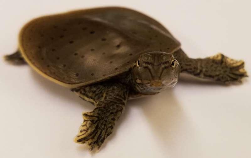 Новое исследование проливает свет на функцию половых хромосом у черепах