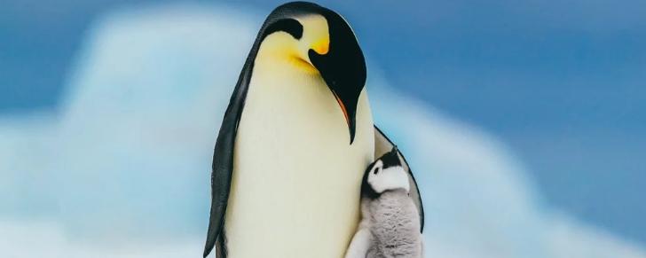 Ученые предупредили, что императорские пингвины на пути к исчезновению в этом веке