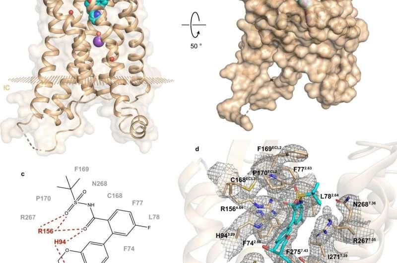 Исследование выявило структуру рецепторов, влияющих на диабет 2 типа